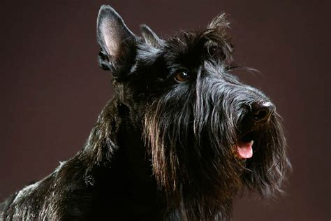 6 Dog Breeds with Beards – American Kennel Club
